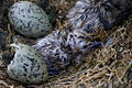 Larus fuscus - newly hatched chicks on Flat Holm.jpg