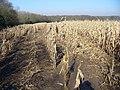 Last Year's Maize - geograph.org.uk - 693223.jpg