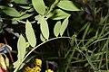Lathyrus pauciflorus 9728.JPG
