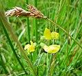 Lathyrus pratensis Meadow Vetchling (25744902978).jpg