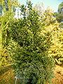 Laurus nobilis (2).JPG