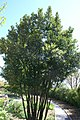 Laurus nobilis 12zz.jpg