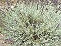 Lavender plant SD.jpg