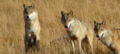 Le dernier loup - Les coulisses - l'entraînement des loups 2.png