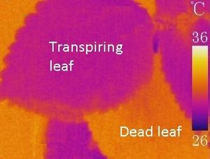 Ecophysiology - Infrared image showing the importance of transpiration in keeping leaves cool.