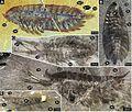 Leanchoilia superlata study 2.jpg