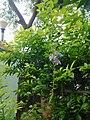 Leaves and trees palavangudi jpg 26.jpg