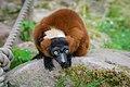 Lemur (35805760373).jpg