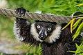 Lemur (36499969633).jpg