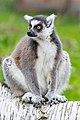 Lemur (36651664106).jpg