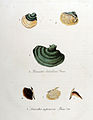 Lenzites betulina — Flora Batava — Volume v10.jpg