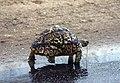 Leopard Tortoise (26384407789).jpg