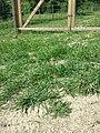 Lepidium squamatum sl48.jpg
