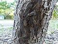 Leptocneria reducta larvae 1.jpg