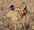 Lesser Prairie Chicken, New Mexico cropped.jpg