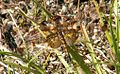 Libelle 5 db.jpg