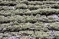 Lichen (4907393995).jpg