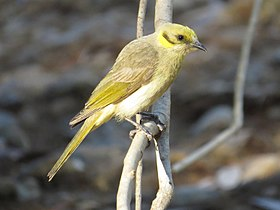 Lichenostomus plumulus - Grey-fronted honeyeater.jpg