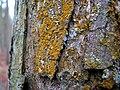 Lichens - detail - geograph.org.uk - 641920.jpg
