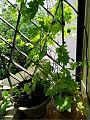 Light N shade on the bitter gourd plant and fruit in my balcony garden.jpg