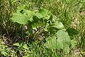 Ligularia stenocephala (bud and leaf).JPG