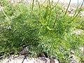 Ligusticum filicinum (6120467287).jpg