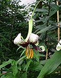 Lilium majoense.jpg
