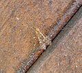 Limonia nubeculosa. Tipulidae - Flickr - gailhampshire (1).jpg