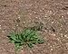 Limonium vulgare narbonense, Vic-la-Gardiole03.jpg