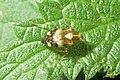 Liocoris tripustulatus (BLNR) (16195374841).jpg
