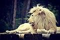 Lion (110730709).jpeg