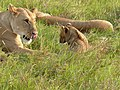 Lioness and Cub ! (3731886847).jpg