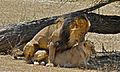 Lions (Panthera leo) mating (6532065583).jpg