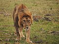 Lions @ Maasai Mara (20630499010).jpg