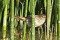 Little Grassbird.jpg