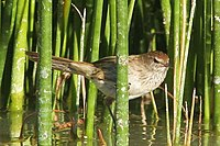 Little Grassbird.jpg