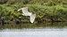 Little egret, Lido de Thau 02.jpg