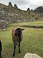 Llama negra en Machu Picchu.jpg