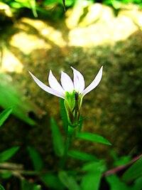 Lobelia chinensis 01