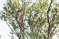 Loggerhead Shrike (23202774229).jpg