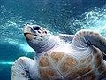 Viso della tartaruga Loggerhead