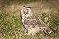 Long-eared owl (43484552151).jpg