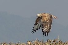 Long-legged buzzard.jpg