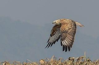 Long-legged buzzard Species of bird