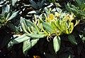 Lonicera japonica 05a.JPG