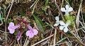 Lousewort (Pedicularis sylvatica) - geograph.org.uk - 833394.jpg