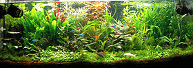 A wide aquarium tank, lit from above, and densely planted with many plants of varying leaf shapes and growing in a tangle. Most plants are green, while a few have red foliage. There is an area of low green plants in front, and small bright blue and red fish swim from side to side.