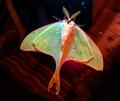 Luna Moth (actias luna), male, Durham, NC, 2013-06-01.png