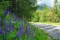 Lupina mnoholistá (Lupinus polyphyllus) - Cesta slobody.jpg