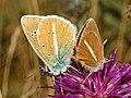 Lycaenidae - Polyommatus (Agrodiaetus) damon - mating pair.JPG